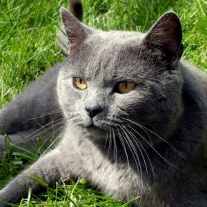 Chats Chartreux