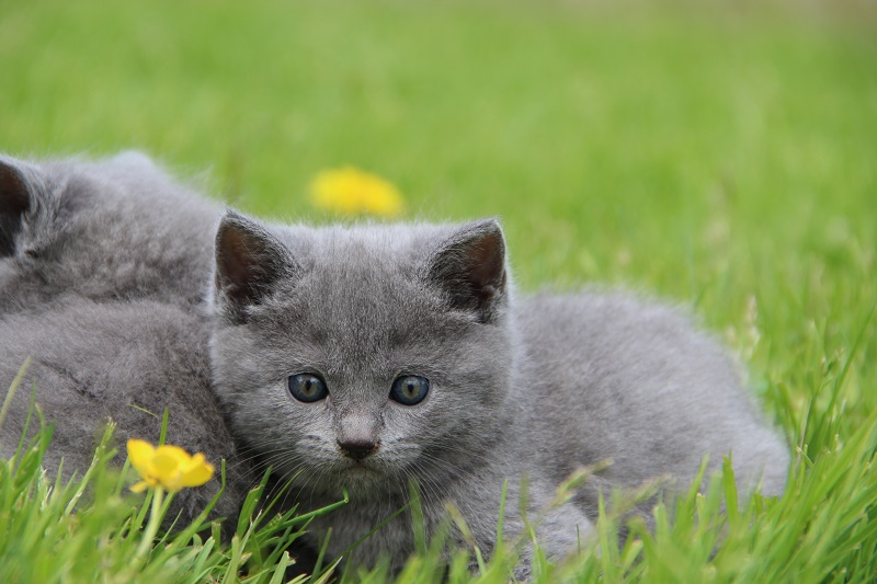 Chartreux Maybye et Maa