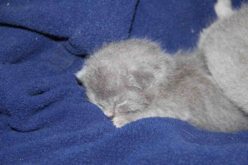 premiers chatons chartreux